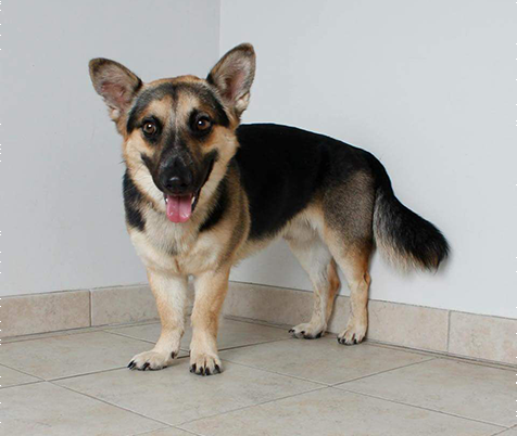 franksville vet, breed information, corgi shepherd mix