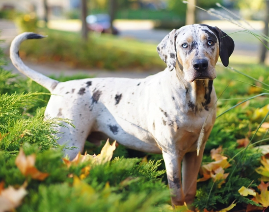 prairie side veterinary hospital, breed information, american leopard hound mix