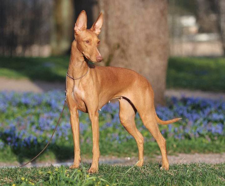 razas de perros mas caras