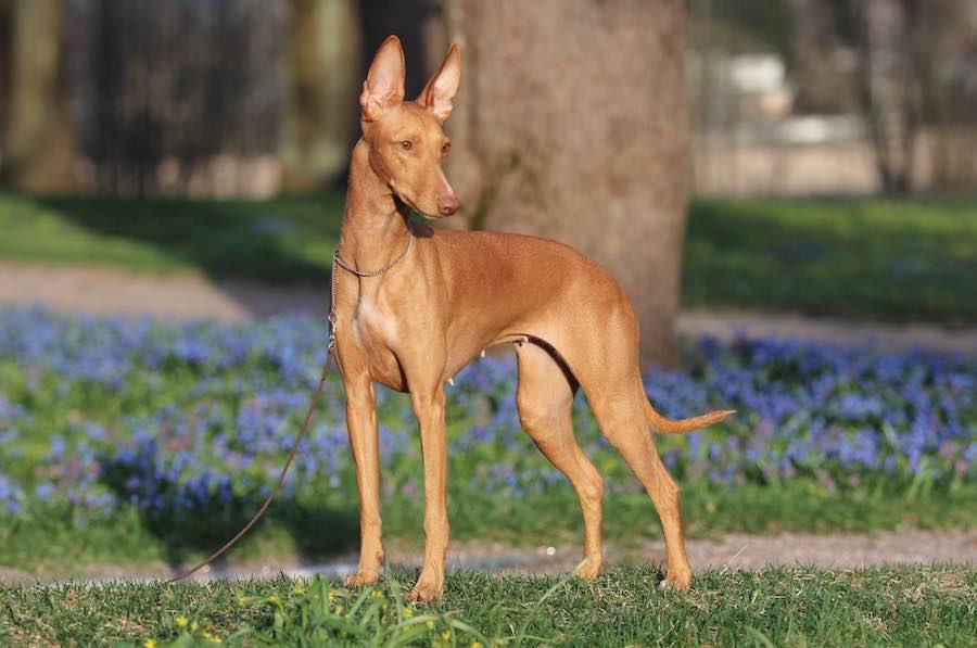prairie side veterinary hospital, breed information, pharaoh hound dog breed information