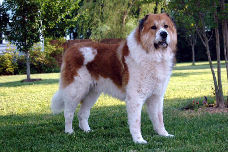 prairie side veterinary hospital, breed information, caucasian ovcharka breed information