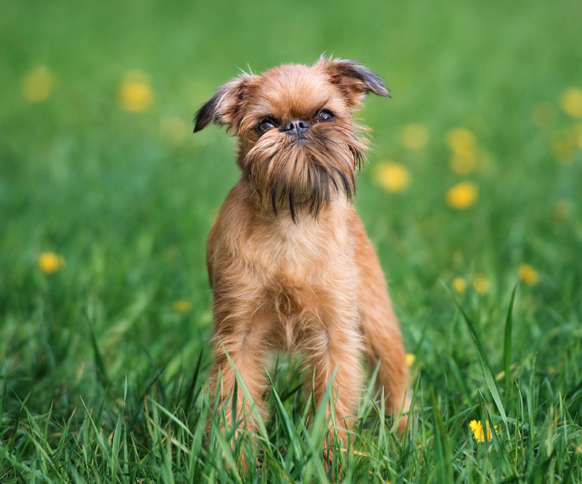 prairie side veterinary hospital, breed information, brussels griffon breed information