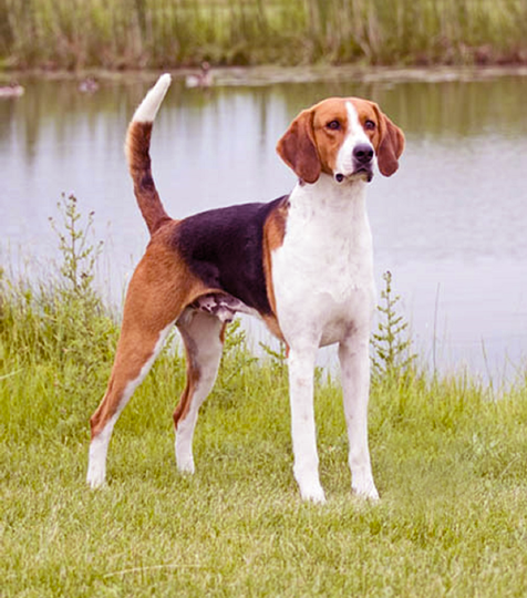 prairie side veterinary hospital, breed information, american foxhound breed information