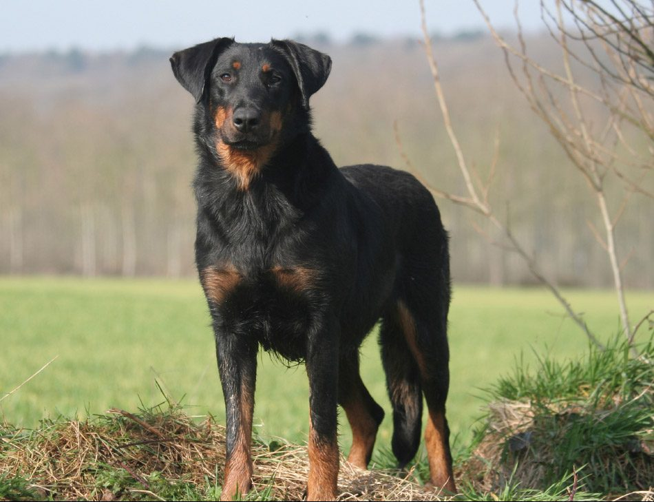prairie side veterinary hospital, breed information, beauceron breed information