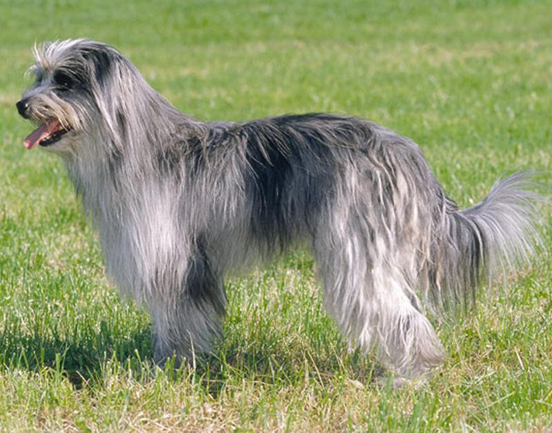 prairie side veterinary hospital, breed information, pyrenean shepherd breed information